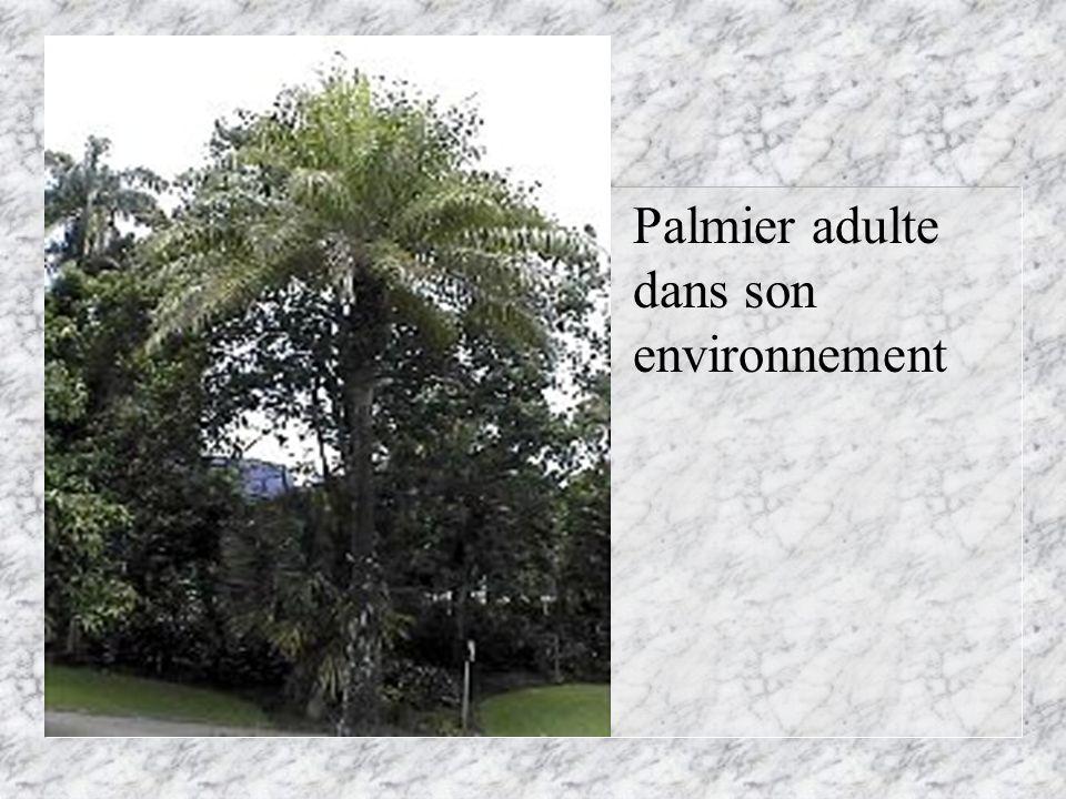 Palmier adulte dans son environnement