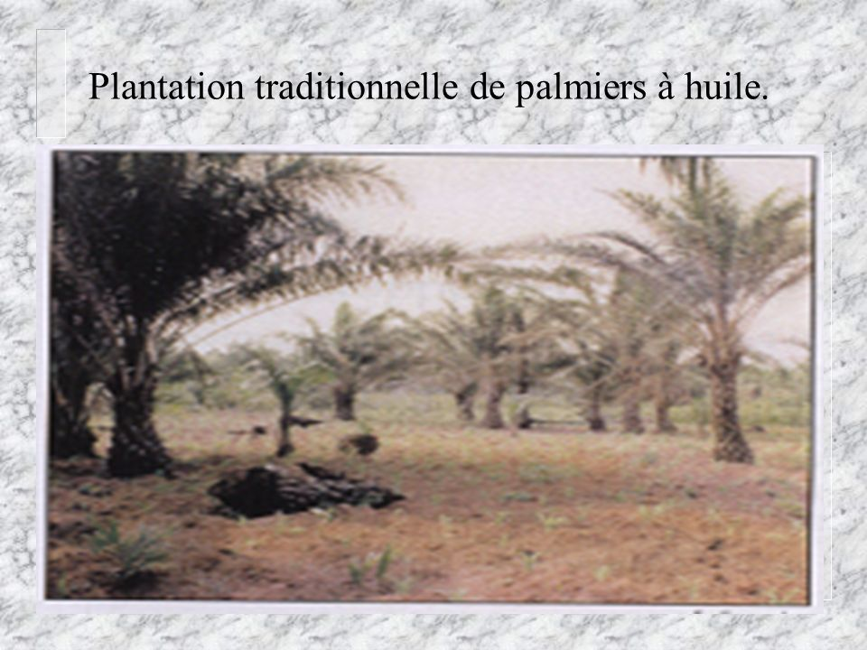 Plantation traditionnelle de palmiers à huile.