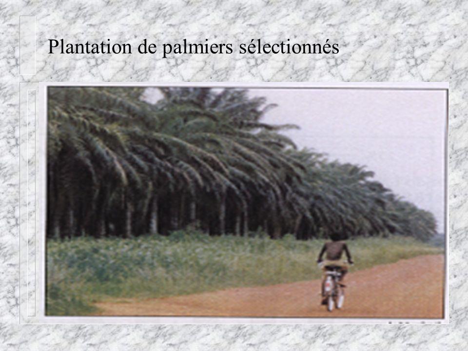 Plantation de palmiers sélectionnés