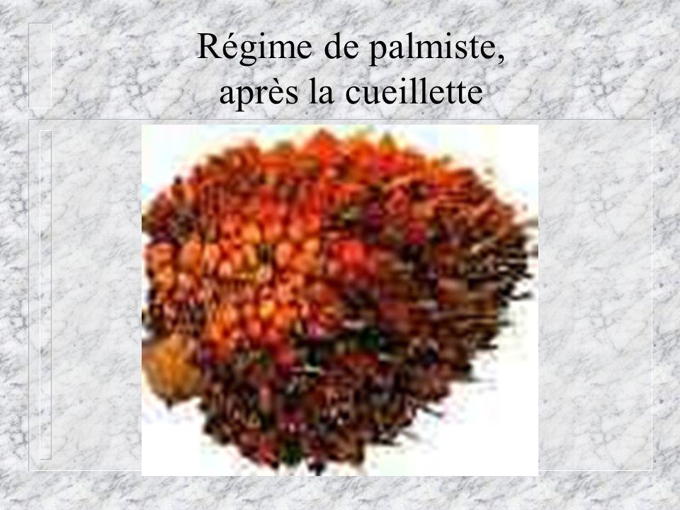 Régime de palmiste, après la cueillette
