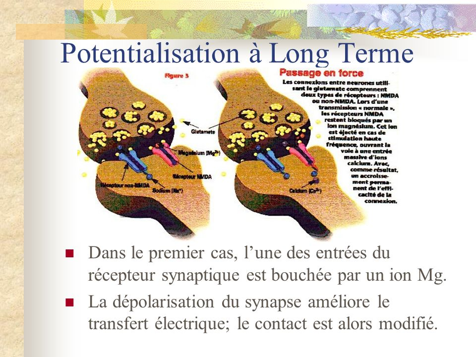 Potentialisation à Long Terme
