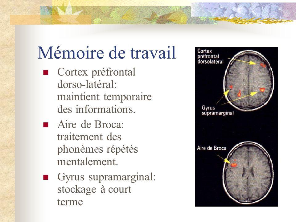 Mémoire de travail Cortex préfrontal dorso-latéral: maintient temporaire des informations.