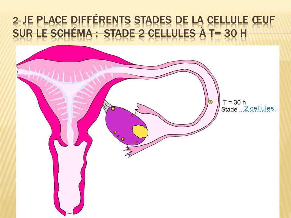 2- Je place différents stades de la cellule œuf sur le schéma : Stade 2 cellules à T= 30 H