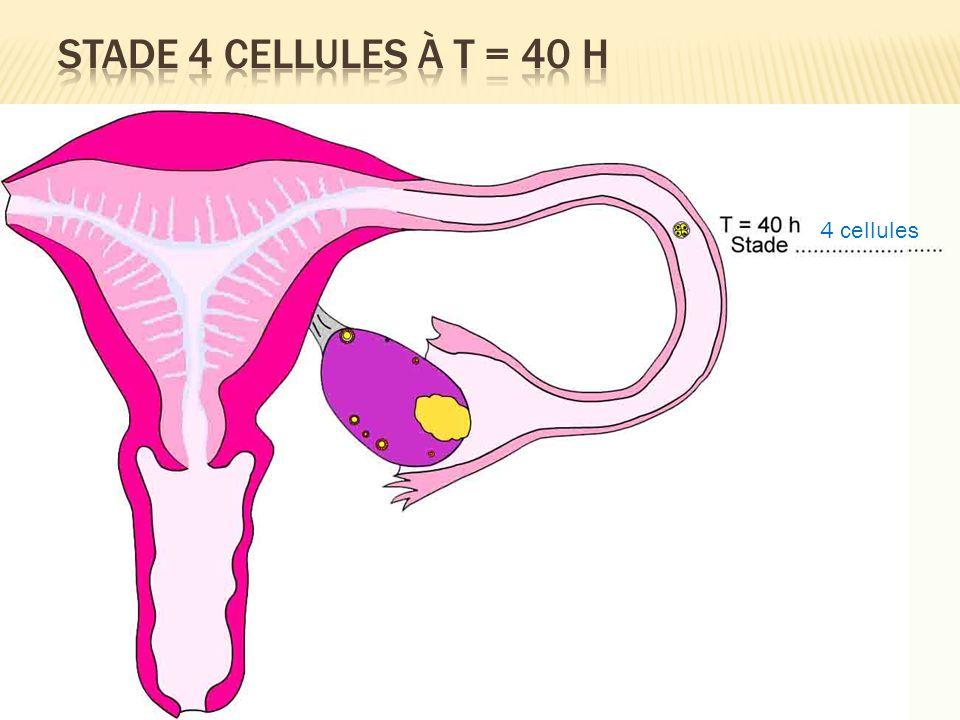 Stade 4 cellules à T = 40 H 4 cellules