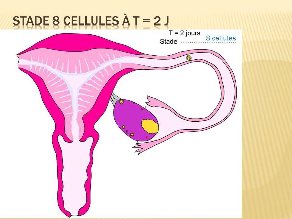 Stade 8 cellules à T = 2 j 8 cellules