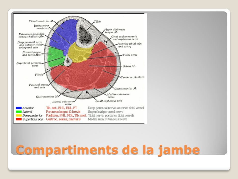 Compartiments de la jambe