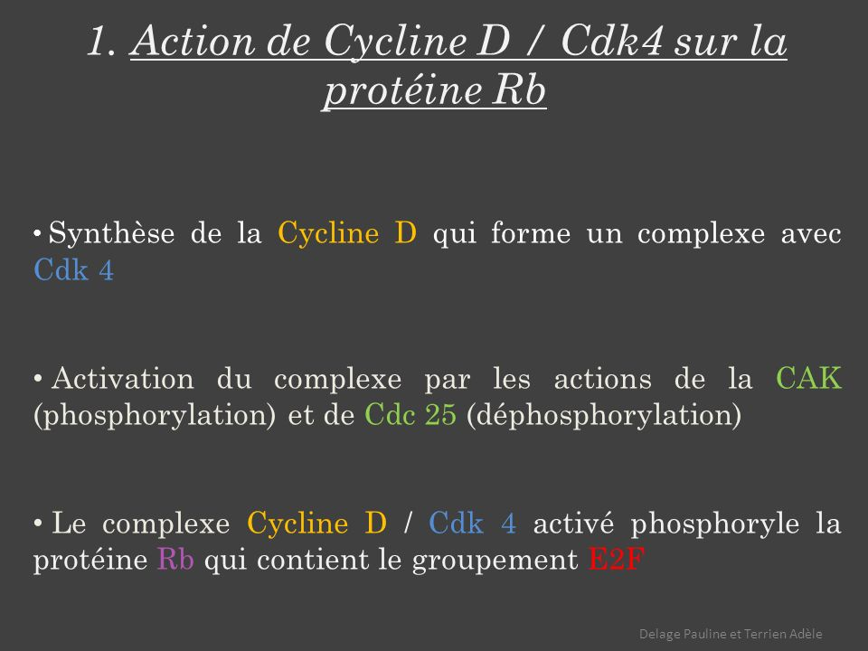 1. Action de Cycline D / Cdk4 sur la protéine Rb