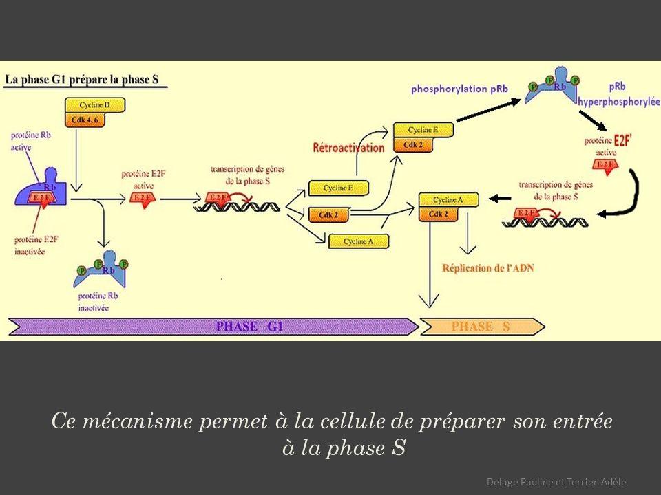 Ce mécanisme permet à la cellule de préparer son entrée à la phase S