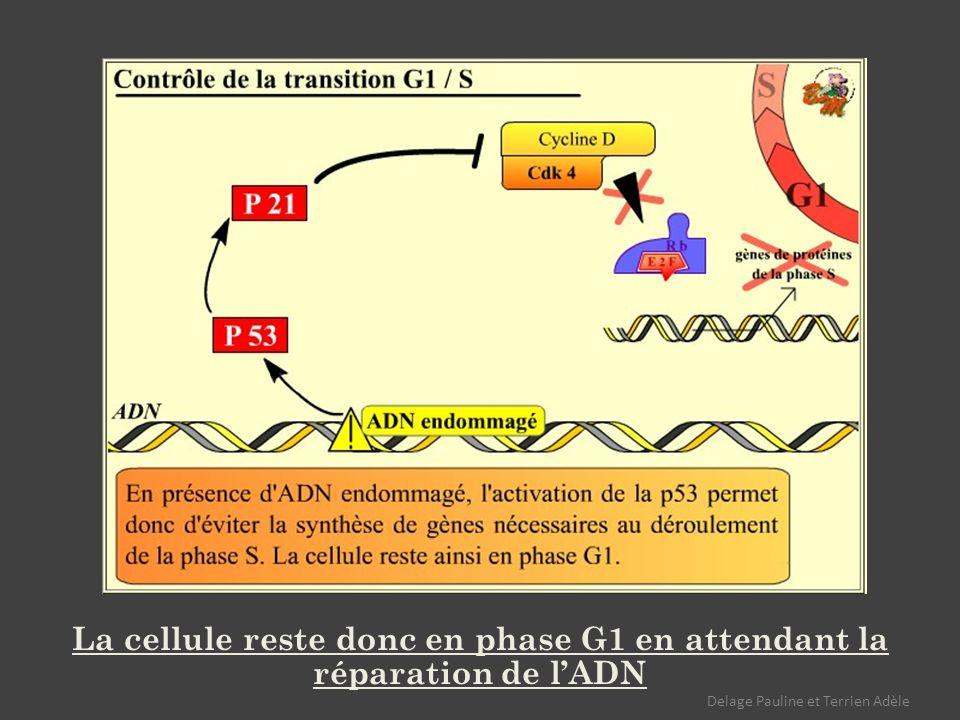 La cellule reste donc en phase G1 en attendant la réparation de l'ADN