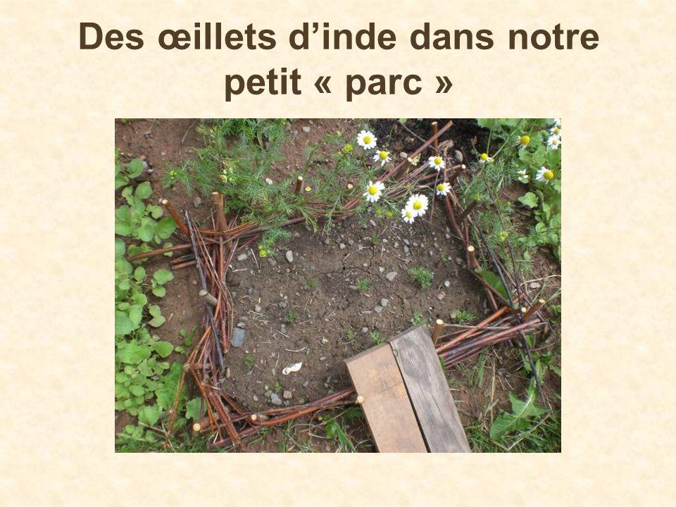 Des œillets d'inde dans notre petit « parc »