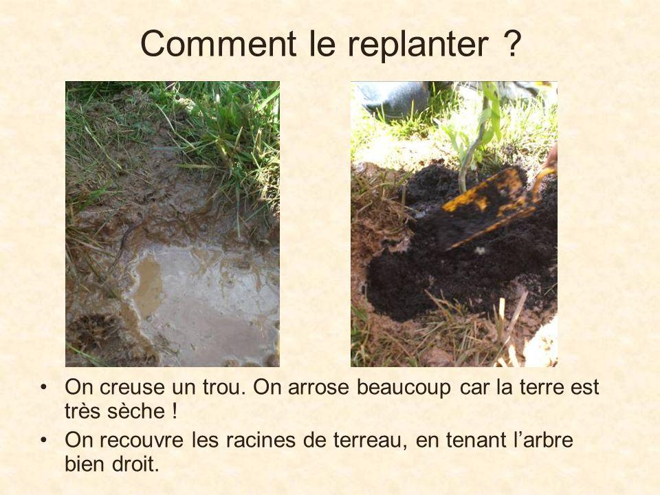 Comment le replanter On creuse un trou. On arrose beaucoup car la terre est très sèche !