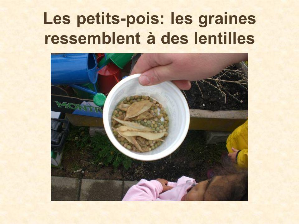 Les petits-pois: les graines ressemblent à des lentilles