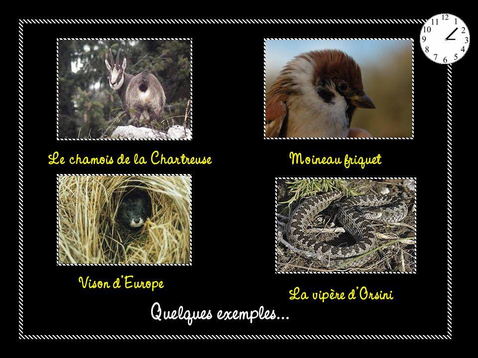 Quelques exemples… Le chamois de la Chartreuse Moineau friquet