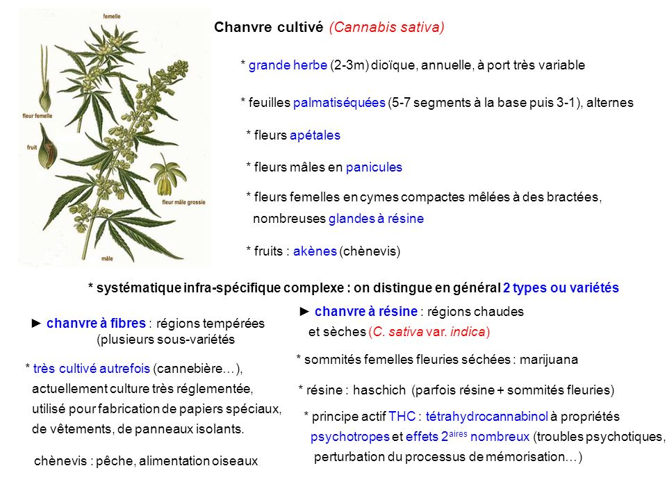 Chanvre cultivé (Cannabis sativa)