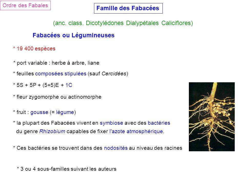 (anc. class. Dicotylédones Dialypétales Caliciflores)
