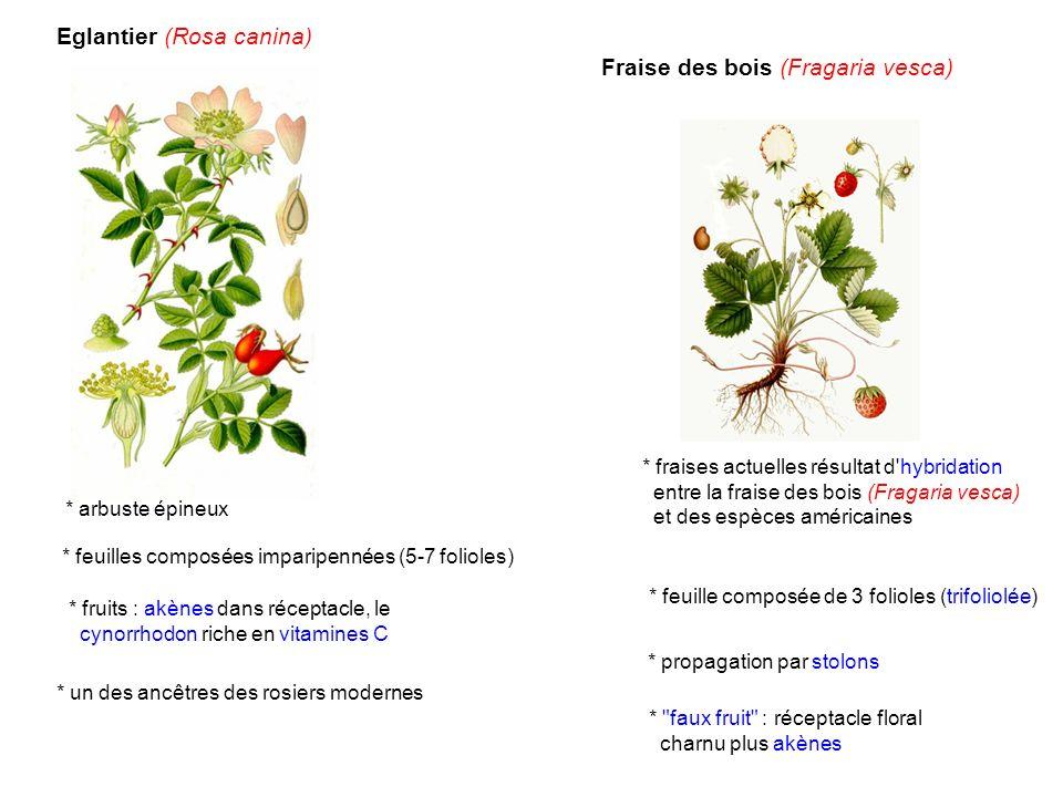 Eglantier (Rosa canina) Fraise des bois (Fragaria vesca)