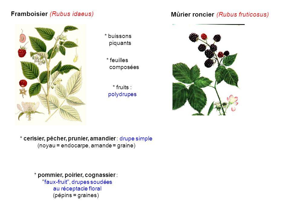 Framboisier (Rubus idaeus) Mûrier roncier (Rubus fruticosus)