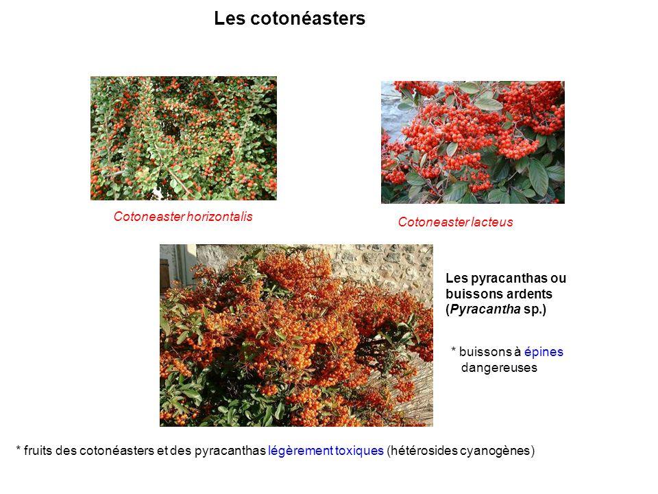 Les cotonéasters Cotoneaster horizontalis Cotoneaster lacteus