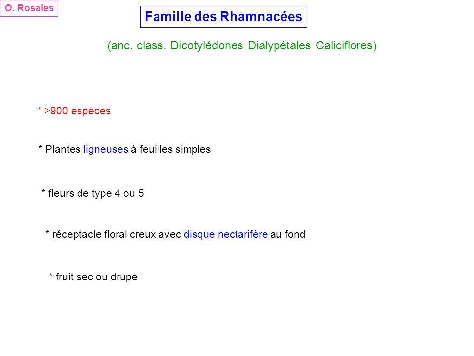 Famille des Rhamnacées