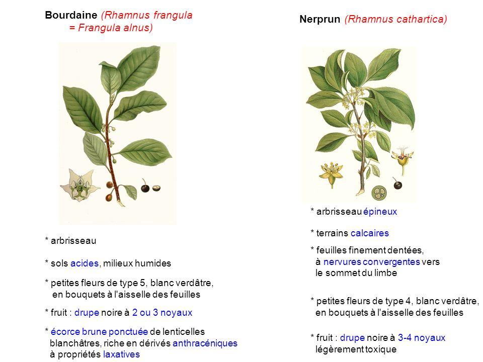 Bourdaine (Rhamnus frangula = Frangula alnus)