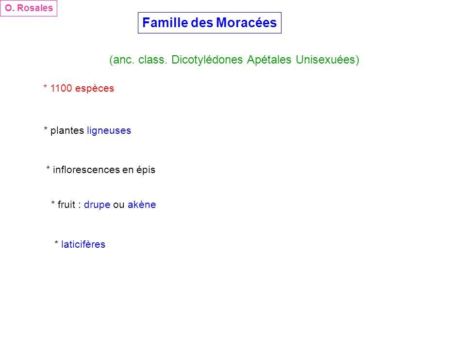 Famille des Moracées (anc. class. Dicotylédones Apétales Unisexuées)