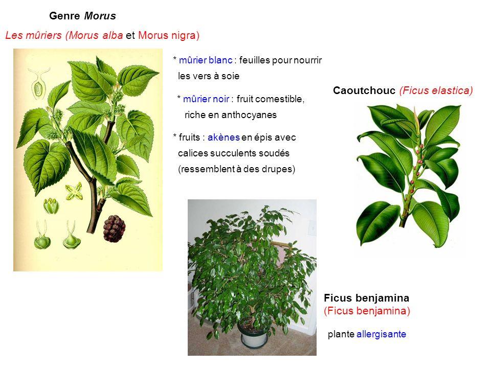 Les mûriers (Morus alba et Morus nigra)