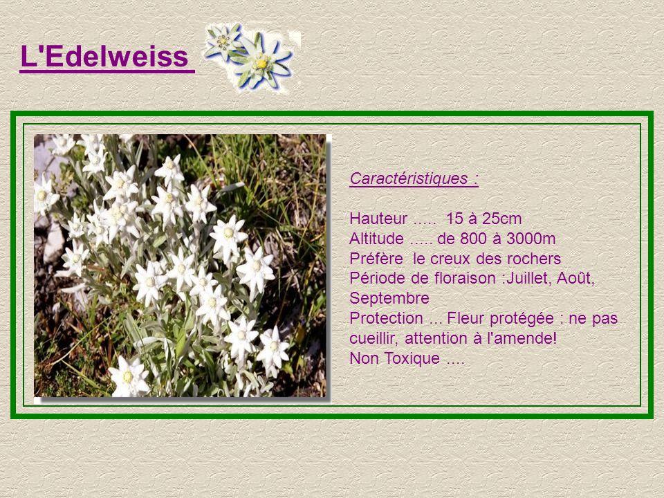 L Edelweiss Caractéristiques : Hauteur ..... 15 à 25cm