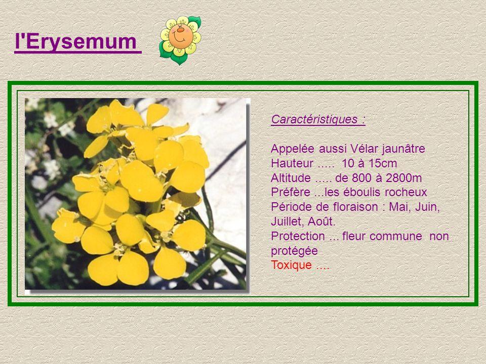 l Erysemum Caractéristiques : Appelée aussi Vélar jaunâtre