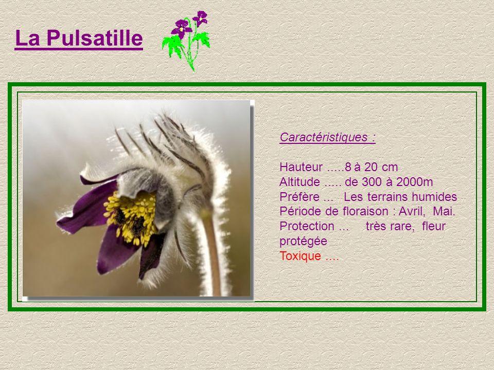 La Pulsatille Caractéristiques : Hauteur .....8 à 20 cm