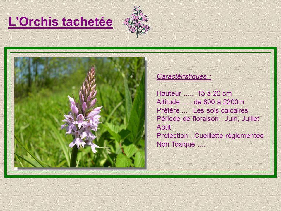 L Orchis tachetée Caractéristiques : Hauteur ..... 15 à 20 cm