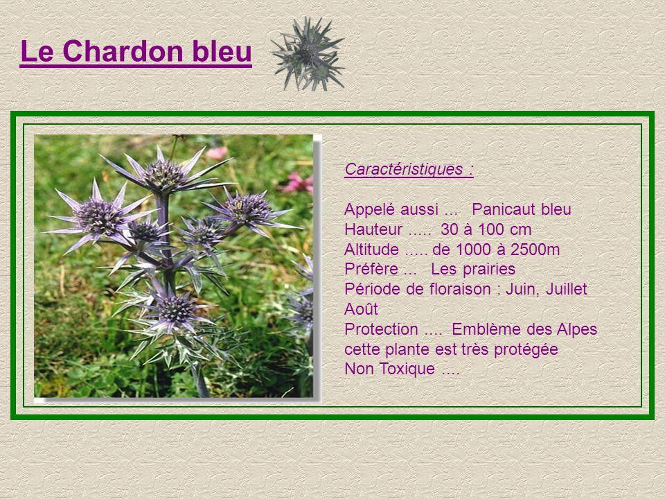 Le Chardon bleu Caractéristiques :