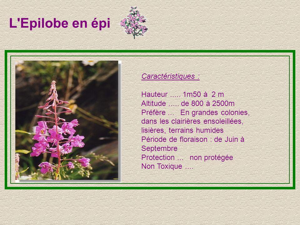 L Epilobe en épi Caractéristiques : Hauteur ..... 1m50 à 2 m