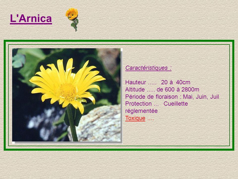 L Arnica Caractéristiques : Hauteur ..... 20 à 40cm