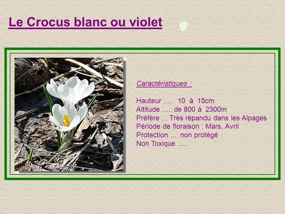 Le Crocus blanc ou violet