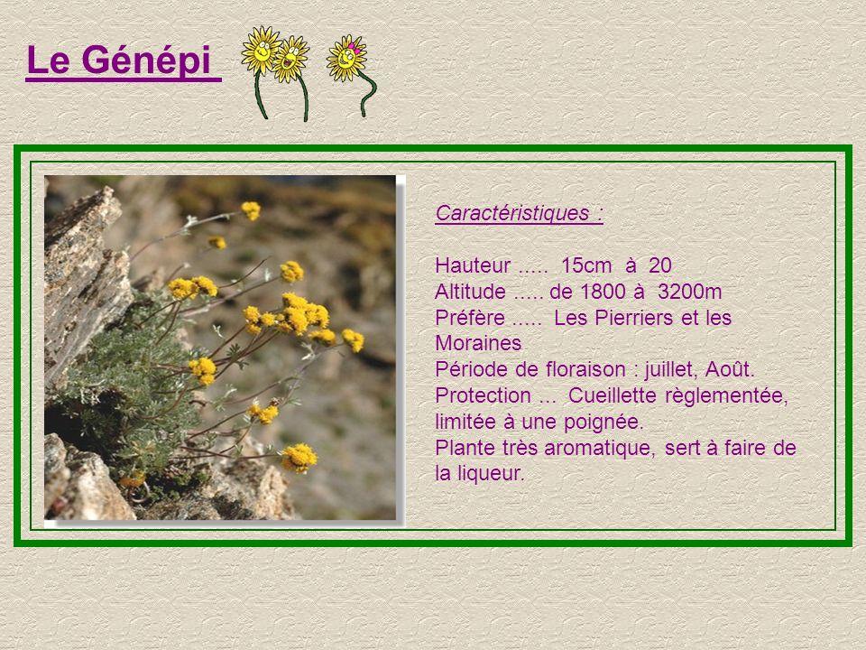 Le Génépi Caractéristiques : Hauteur ..... 15cm à 20