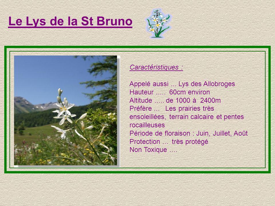Le Lys de la St Bruno Caractéristiques :