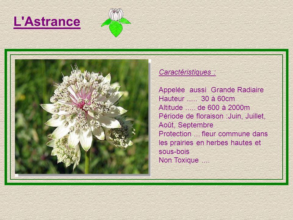 L Astrance Caractéristiques : Appelée aussi Grande Radiaire