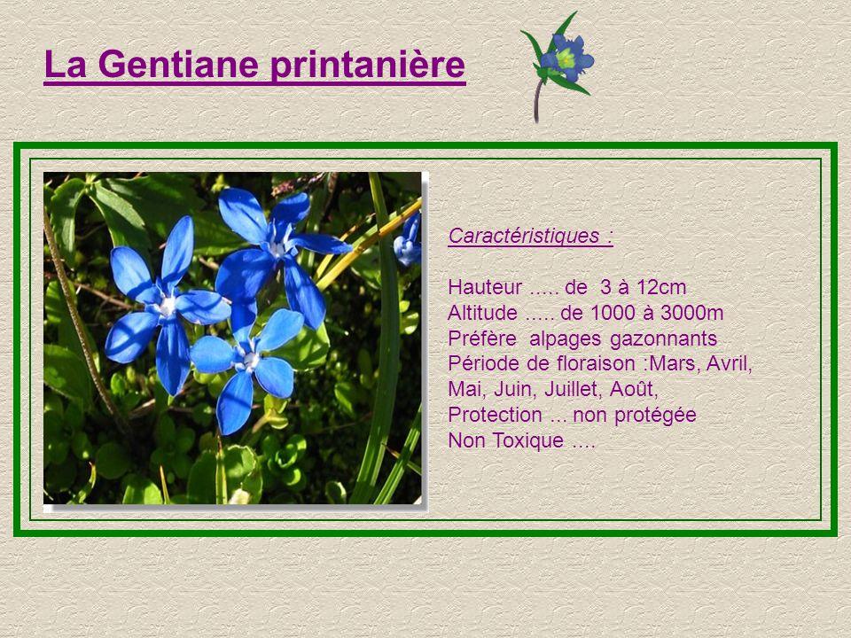 La Gentiane printanière