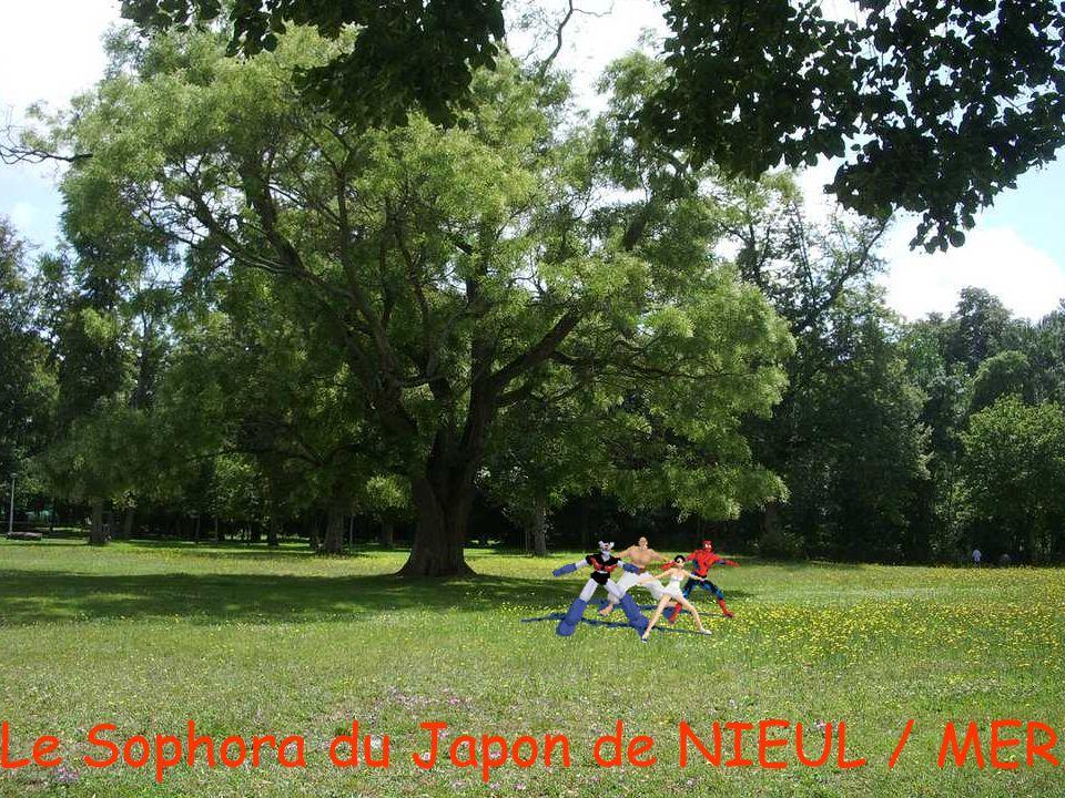 Le Sophora du Japon de NIEUL / MER