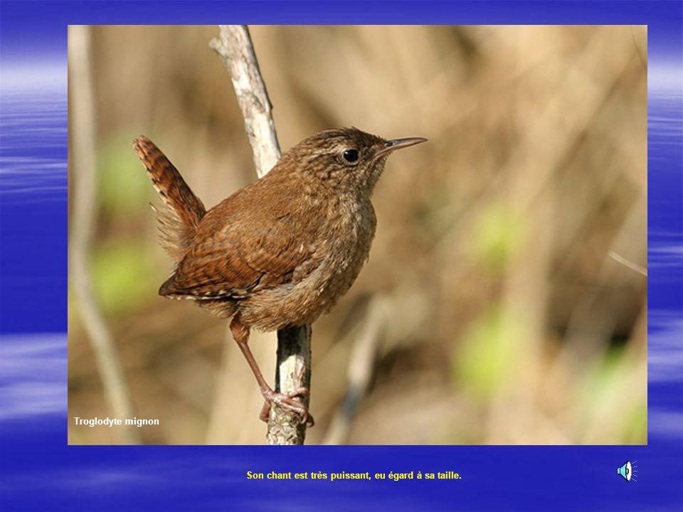 Troglodyte mignon Son chant est très puissant, eu égard à sa taille.