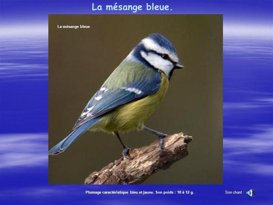 La mésange bleue. La mésange bleue