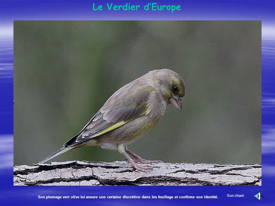 Le Verdier d'Europe Son chant: