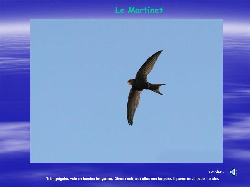 Le Martinet Son chant. Très grégaire, vole en bandes bruyantes.