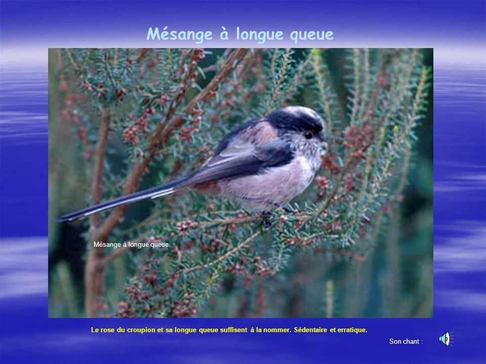 Mésange à longue queue Mésange à longue queue.