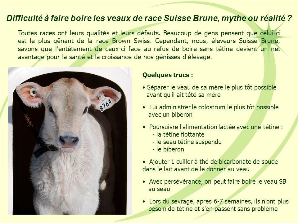 Difficulté à faire boire les veaux de race Suisse Brune, mythe ou réalité