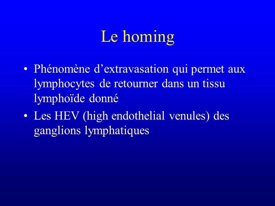 Le homing Phénomène d'extravasation qui permet aux lymphocytes de retourner dans un tissu lymphoïde donné.