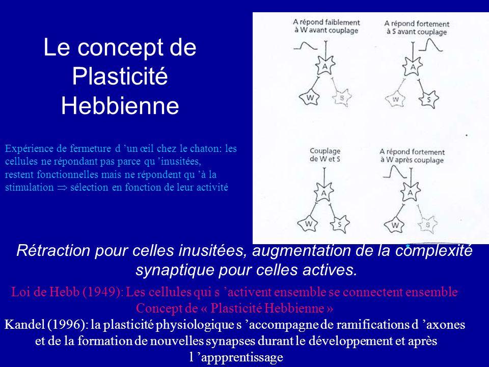 Le concept de Plasticité Hebbienne