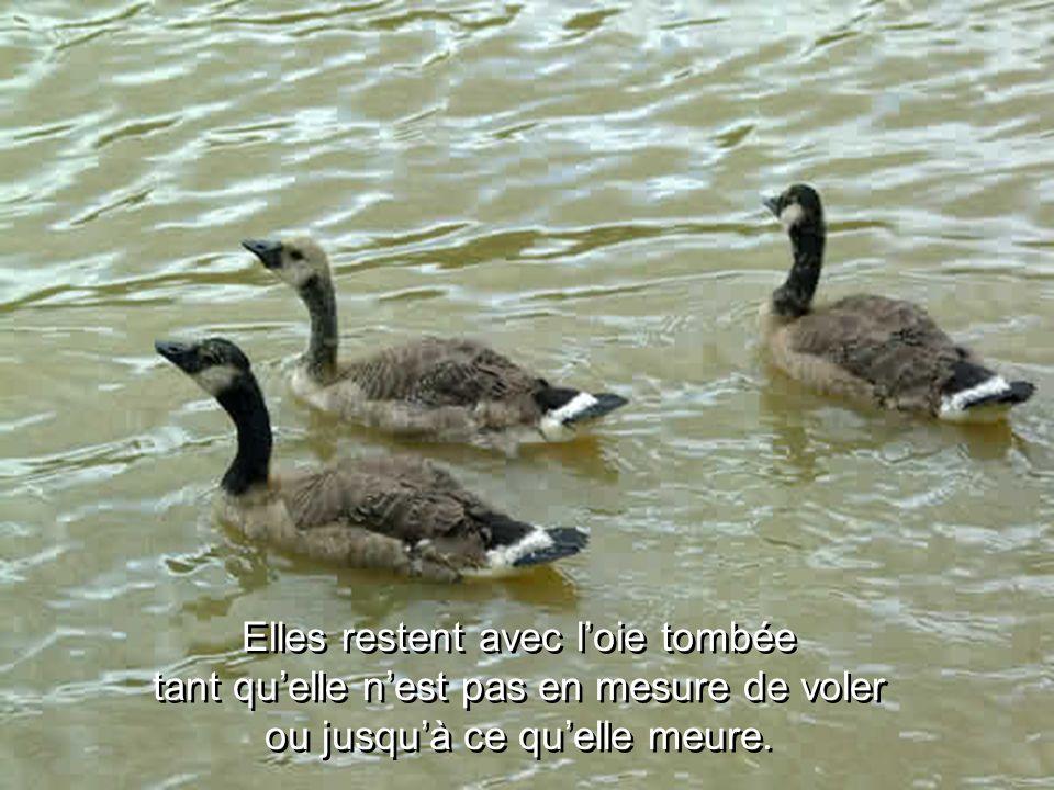 Elles restent avec l'oie tombée tant qu'elle n'est pas en mesure de voler ou jusqu'à ce qu'elle meure.