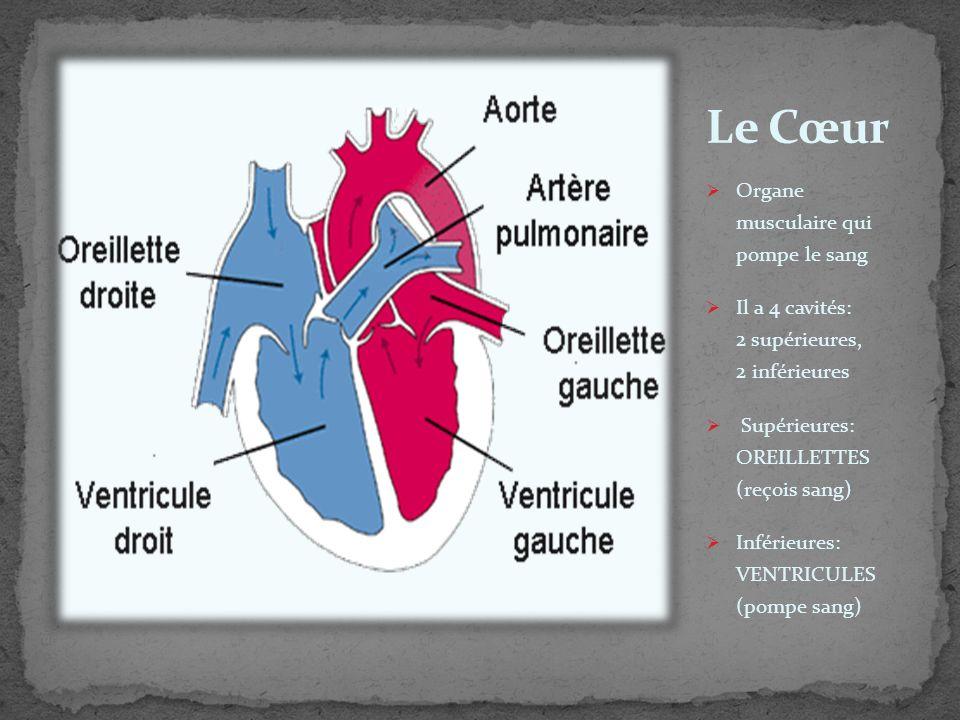 Le Cœur Organe musculaire qui pompe le sang