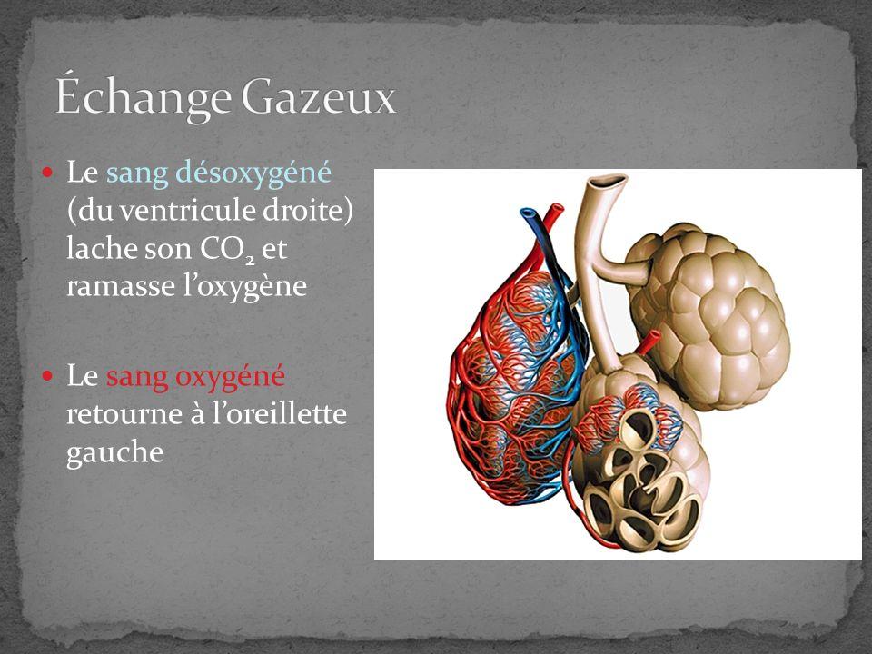 Échange Gazeux Le sang désoxygéné (du ventricule droite) lache son CO2 et ramasse l'oxygène.